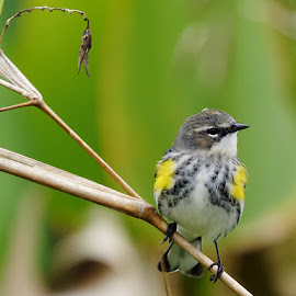 Yellow-rumped Warbler Head Turned by Jill Nightingale - Animals Birds ( tiny, seasonal, park, avian, flora, bright, fauna, yellow-rumped warbler, plumage, wildlife, yellow, cute, feathers, bird, migratory, winter, tree, nature, setophaga coronata, florida, outdoors, adorable, brown, backyard, songbird, small, warbler )