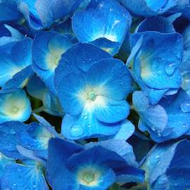 Fiori di ortensia by ANNA RIBOTTA - Nature Up Close Gardens & Produce ( serenity, blue, mood, factory, charity, autism, light, awareness, lighting, bulbs, LIUB, april 2nd )