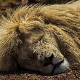 Sleeping King by Zareef Knight - Animals Lions, Tigers & Big Cats