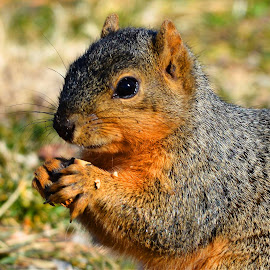 Fox Squirrel by Marvin White - Animals Other Mammals ( fox squirrel, peanut, red, park, squirrel, red squirel )