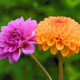 Purple & Orange Dahlias by Jim Downey - Flowers Flower Gardens ( orange, green, purple, dahlias, petals )