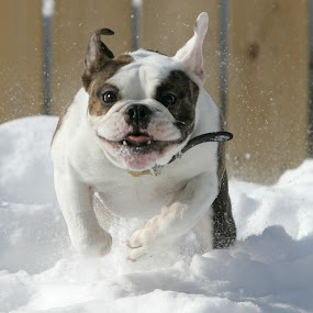 bulldog snow by Brent Foster - Animals - Dogs Portraits ( pets action photography )