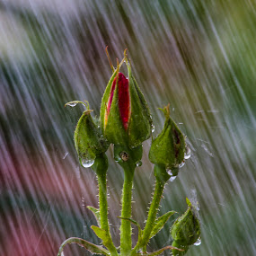 Rose buds by Rajeev Krishnan - Flowers Flower Buds ( rose, rosebud, roses, rose garden, rose bud, flower photography, flower,  )