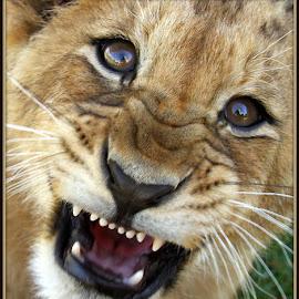 Grrrrr by Romano Volker - Animals Lions, Tigers & Big Cats
