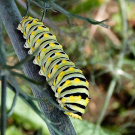 Caterpillar by Richard Michael Lingo - Animals Insects & Spiders ( caterpillar, bug, animals, insects, stem )