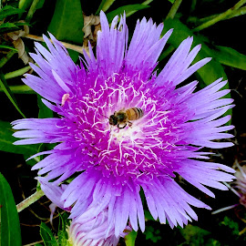 Collecting Nectar on an Aster by Carolyn Taylor - Instagram & Mobile iPhone