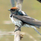 STREAKED THROATED SWALLOW