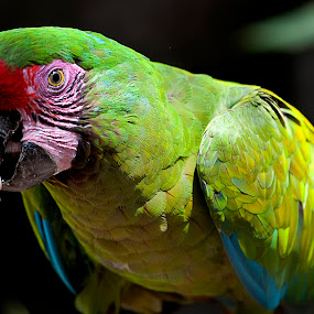 Parrot by Cristobal Garciaferro Rubio - Animals Birds ( bird, mexico, green parrot, parrot, tropical bird )