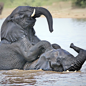 Water Play by Pieter J de Villiers - Animals Other