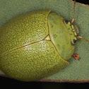 Paropsis glauca