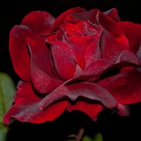 Velvet Rose by Brian Stout - Flowers Single Flower ( rose, red, high contrast, garden, flower )