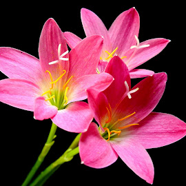 Rain Lily  by Asif Bora - Flowers Flowers in the Wild (  )