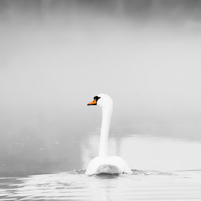 Swan in mist by Steven Stamford - Animals Birds ( mute swan, swan, cygnus olor, morning, canal, misty, early morning, mist,  )