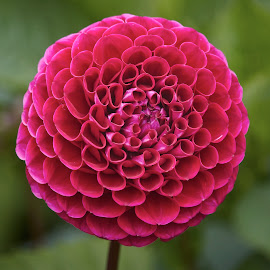 Dahlia 8789~ by Raphael RaCcoon - Flowers Single Flower