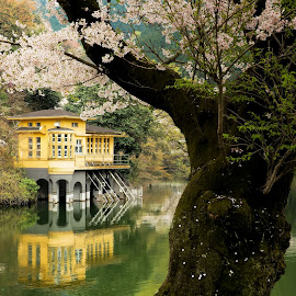 Lake in spring by MIYAMOTO Y - Landscapes Waterscapes ( reflection, japan, tree, 2015, sakura, lake, lakeside, house, spring, blossoms, flower )
