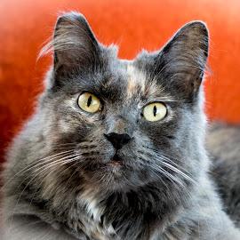 Cat3 by Dee Haun - Animals - Cats Portraits ( 2017, cats, animals, cat3, x6638e1wce1, portraits )