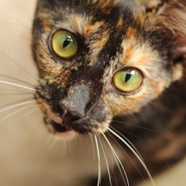Cat's Eyes by Noel Hankamer - Animals - Cats Kittens ( tortoiseshell cat eyes cat cute pet young feline fur domestic animal kitty kitten furry,  )