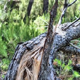Broken by Suzana Svečnjak - Nature Up Close Trees & Bushes ( broken, wood, tree, storm, pine )
