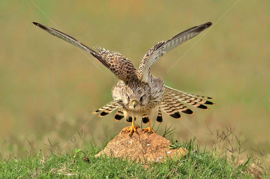 COMMON KESTREL by Subramanniyan Mani - Animals Birds ( bird, take off. freedom, nature, vision, common kestrel, raptor, birds, birds in flight )