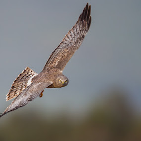 Northern Harrier by Phoo (mallardg500) Chan - Animals Birds ( northern harrier, raptors )