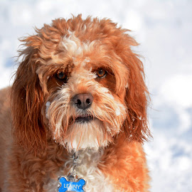 Lenny the Cavapoo by Steven Liffmann - Animals - Dogs Portraits ( ginger, cold, pet, snow, cavapoo, cute, dog, puppy portrait )