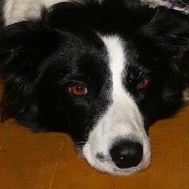 Resting Jessie by Chrissie Barrow - Animals - Dogs Portraits ( border collie, female, pet, white, fur, ears, dog, nose, black, portrait, eyes )