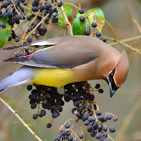 Cedar Waxwing by Patricia Warren - Animals Birds ( bird, winter, nature, avian, wildlife, cedar waxwing, berries,  )