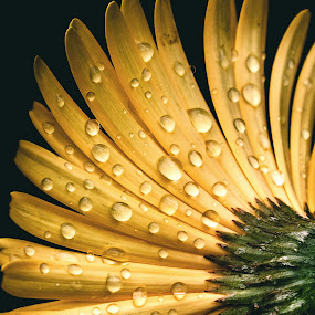 by Brothers Photography - Nature Up Close Natural Waterdrops ( nature, waterdrop, drops, flower )
