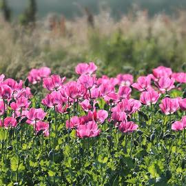 Mohnblüten auf Texel by Elke Krone - Landscapes Prairies, Meadows & Fields ( landschaft, red, grün, feld, mohn, frühling, mohnblüten )