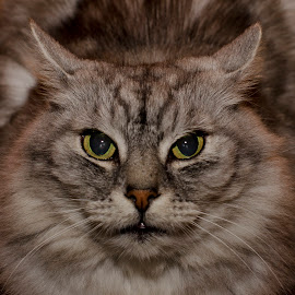 Close Up Fluffball by Holly Ring - Animals - Cats Portraits ( cat, fluffy, fierce, close up, eyes, animal,  )
