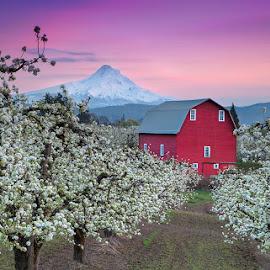 Apple Season Begins by Ken Smith - Landscapes Travel ( red barn, apple season, mt hood, landscape )