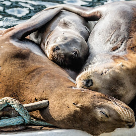 by April Eilers - Animals Sea Creatures ( love, nap time, family, sea lions, baby )