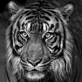 Here Kitty, Kitty, Kitty by Ann J. Sagel - Animals Lions, Tigers & Big Cats ( tiger, animal,  )