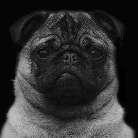 Max the Pug by Kelly Williams - Animals - Dogs Portraits ( expression, canon, animals, monochrome, max, 550d, white, the, pug, portrait, photography, canine, eos, companion, dog, black, animal,  )