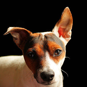 Looking by Kelly Williams - Animals - Dogs Portraits ( looking, jack russel, companion, pet, puppy, dog )