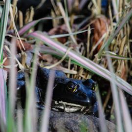 Mr Big by Vonelle Swanson - Animals Amphibians