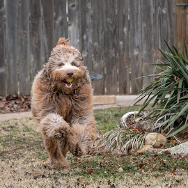 by Kathy Suttles - Animals - Dogs Running