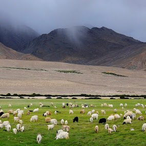 A visual delight... by Tridibesh Indu - Landscapes Prairies, Meadows & Fields ( mountains, green, incredible, hanle, valley, animals, india, ladakh, landscape, meadow )
