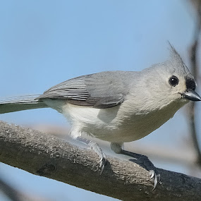 Titmouse In Spring by Stephen Beatty - Animals Birds (  )