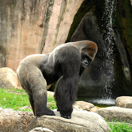 Casey 3 by A.j. Amos - Animals Other ( zoo, nature, ape, gorilla, wildlife )