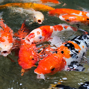 Swarming Fish by Yi Xuan Lee - Animals Fish ( fish, mouth, active, feed, swarm )