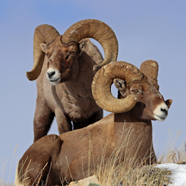 by Kirby Hornbeck - Animals Other Mammals ( animals, nature, wyoming, bighorns, rams, wildlife, sheep )