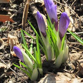 Spring by Debra Rebro - Flowers Flower Buds