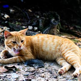 ***** by Steven De Siow - Animals - Cats Portraits ( cat, animal photography, cat portrait, portrait, animal,  )