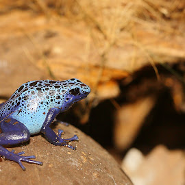 Jump or no jump by Gérard CHATENET - Animals Amphibians