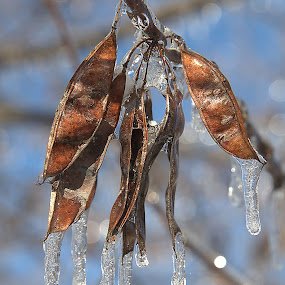 Red Bud Seeds With Ice by Steve Edwards - Nature Up Close Leaves & Grasses ( red bud, ice, nature up close, seeds, leaves,  )