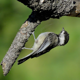 Black-Capped Chickadee  by Nick Swan - Animals Birds ( nature, bird, chickadee, wildlife )
