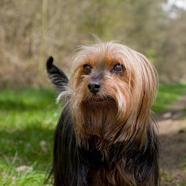 Emma by Dagmar Fialová - Animals - Dogs Portraits ( silk terrier, dogs, australian silk terrier, dog portrait, forest, dog, portrait )