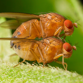 2Fly by Asher Lwin - Animals Insects & Spiders ( macro, nature, fly, insects, closeup )