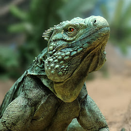 Iguana by Shawn Thomas - Animals Reptiles